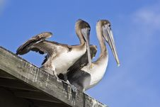 Free Pelicans Royalty Free Stock Photos - 8423698