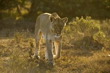 Free Approaching Lioness Stock Photography - 8425252