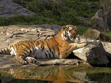 Free Tiger Stock Photo - 8425510