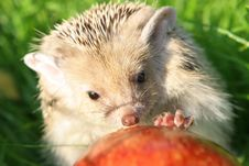 Free The Hedgehog Royalty Free Stock Photography - 8425517