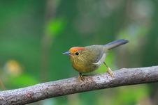 Free Red-headed Babbler Stock Images - 8426014