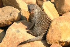 Free Banded Mongoose Royalty Free Stock Image - 8426346