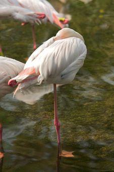 Free Flamingo Royalty Free Stock Image - 8426706