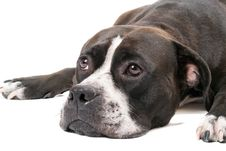 Portrait Of The American Staffordshire Terrier Royalty Free Stock Photos