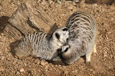 Free Two Meerkats Royalty Free Stock Photo - 8427145