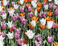 Free Tulip Bed Royalty Free Stock Photography - 8427257