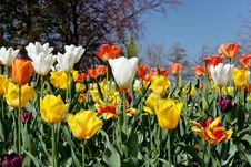 Free Tulip Bed Royalty Free Stock Image - 8427296