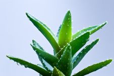 Free Aloe Leafs With Water Dropsa Close Up Shot-shallow Stock Image - 8427691