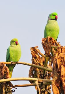 Free Green Parrot Royalty Free Stock Photo - 8427965