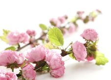 Free Bunch Of Small Pink Flowers Stock Photo - 8428050