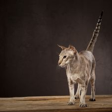 Free Short Haired Cat Standing Stock Photo - 8428210