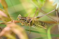 Free Grasshopper Stock Photography - 8429382