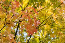 Free Gold Autumn Royalty Free Stock Image - 8429456