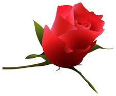 Free Single Rose Stock Images - 8429994