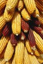 Free Corn Cobs Stock Images - 8432064