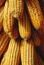 Free Corn Cobs Royalty Free Stock Photo - 8432095