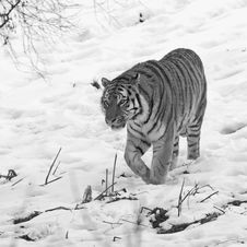 Tiger In The Snow Stock Images