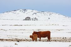 Free Highland Cow In The Snow Stock Images - 8430714