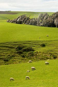 Free Sheep Royalty Free Stock Photography - 8430877
