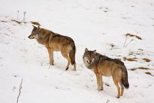 Free Wolf In The Snow Stock Photo - 8430970