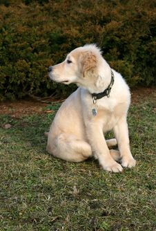 Golden Retriever Puppy Watching Royalty Free Stock Photography