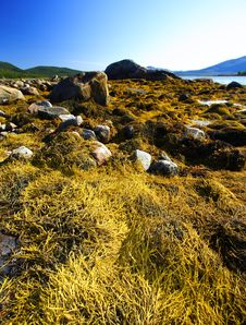 Free Seaweed In Norway Royalty Free Stock Image - 8431156