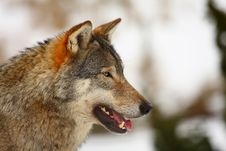 Free Wolf In The Snow Royalty Free Stock Images - 8431169