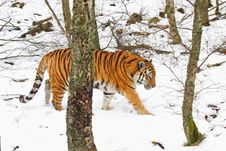 Tiger In The Snow Royalty Free Stock Photos