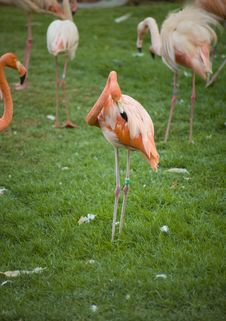 Free Greater Flamingo Royalty Free Stock Image - 8431766