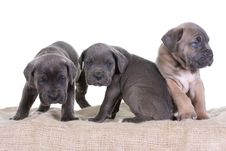 Free Italian Mastiff Cane Corso Royalty Free Stock Photo - 8432025