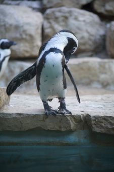 Free Penguin In Jerusalem Zoo Stock Photography - 8432162