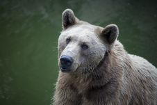 Free Syrian Brown Bear In Jerusalem Zoo Royalty Free Stock Photography - 8432177
