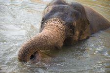 Free Asian Elephant Stock Images - 8432234