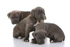 Italian Mastiff Cane Corso Royalty Free Stock Image