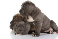 Free Italian Mastiff Cane Corso Royalty Free Stock Photos - 8432408