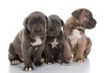 Italian Mastiff Cane Corso Stock Images