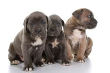 Free Italian Mastiff Cane Corso Stock Images - 8432514