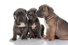 Free Italian Mastiff Cane Corso Royalty Free Stock Photography - 8432657