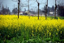 Free Pengzhou, China: Fields Of Yellow Rapeseed Flowers Royalty Free Stock Image - 8432996