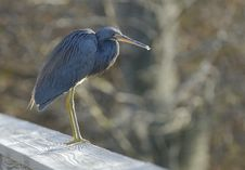Free The Blue Heron Royalty Free Stock Image - 8433446