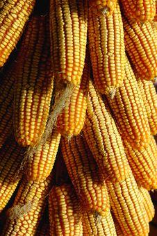 Free Corn Cobs Stock Image - 8434071