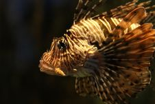 Free Tiger/Turkey  Fish Royalty Free Stock Photography - 8434147