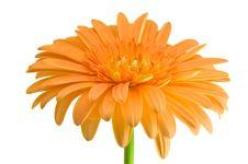 Free Orange Gerber With Stem Stock Image - 8435181