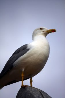 Free Yellow-Legged Seagull Stock Image - 8435441