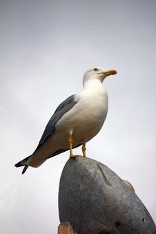 Yellow-legged Gull Stock Photos