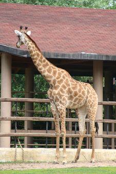 Free Giraffe Royalty Free Stock Photography - 8435617
