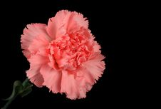 Free Carnation Royalty Free Stock Photos - 8436008