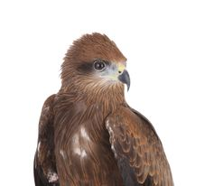Brown Eagle Royalty Free Stock Photo