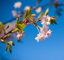 Free Blooming Cherry Tree Royalty Free Stock Photography - 8437357