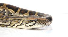 Free Python Stock Image - 8437611